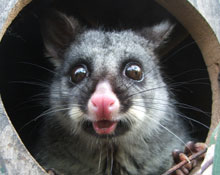 Possum-in-nest-box