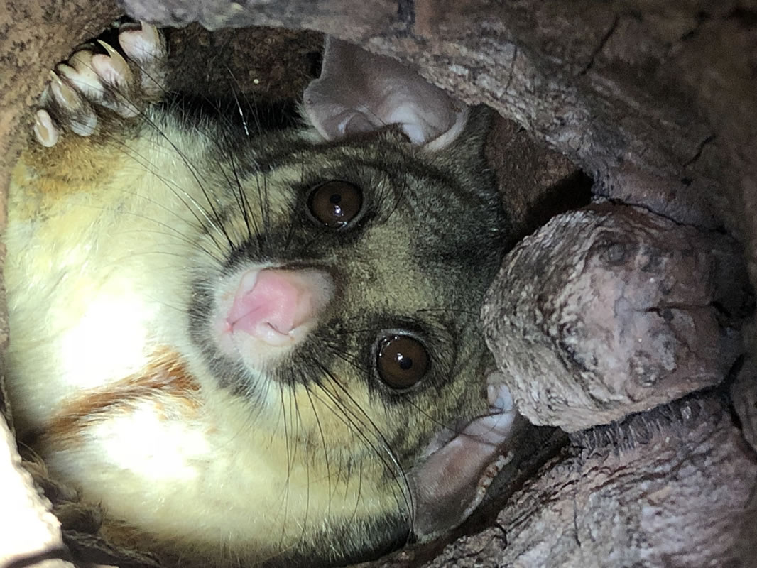 5 Brushtail in tree hollow